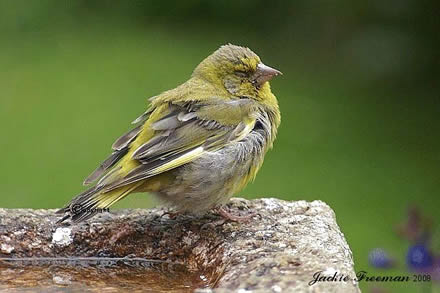 Young  Green finch