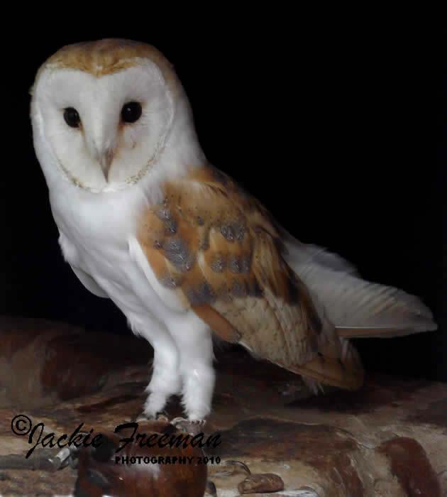 Barn Owl & Screech Owl Photographs Devon & Cornwall ...
