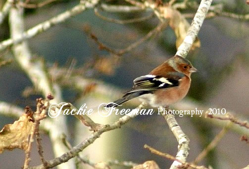 Chaffinch St Breward Cornwall.