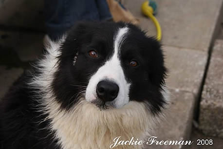 Female Border Collie, Falmouth.