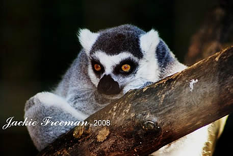 Madagascan Ring-tailed Lemur, Lemur catta.