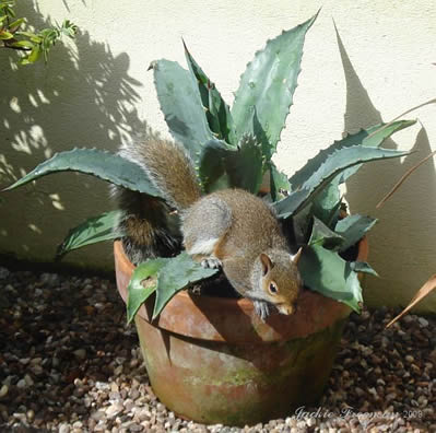 Grey Squirrel nesting  Agave plant.