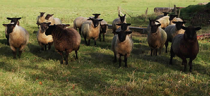 Scotch Blackface sheep
